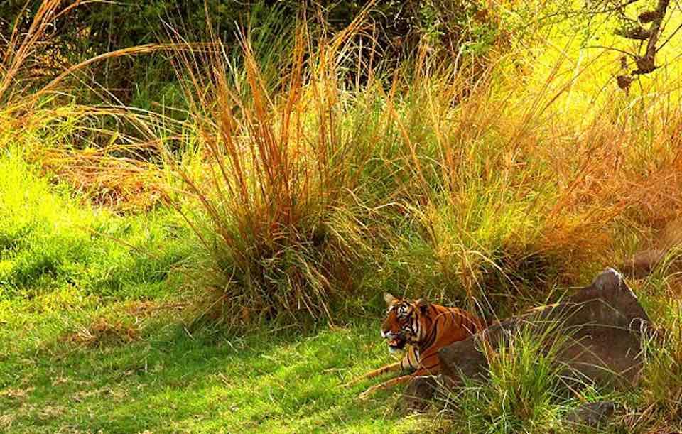 Tigre dans le parc nationa de Rathambore